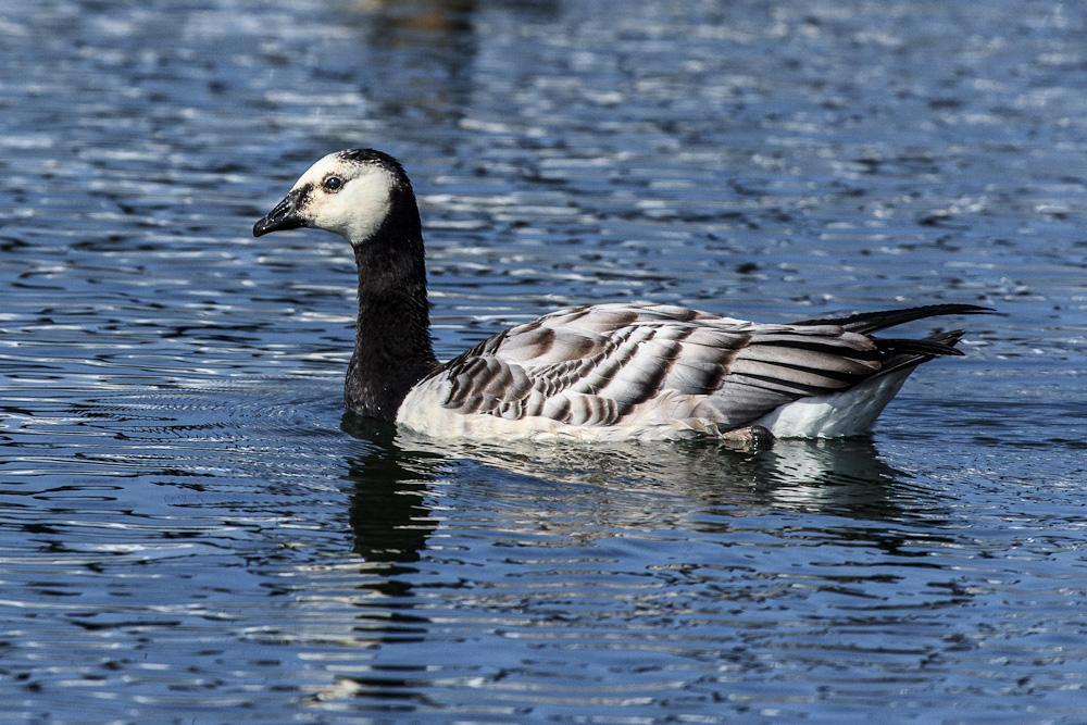 Birds of Bornholm:  Barnacle Goose