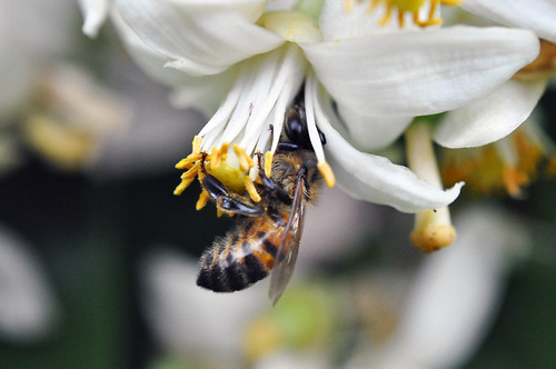 Bee and rhododendron flower