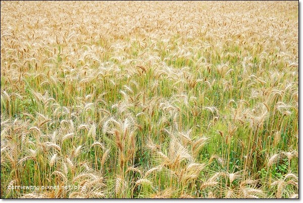 Wheat Farm (21)
