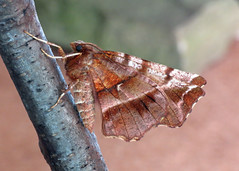 1917 Early Thorn - Selenia dentaria