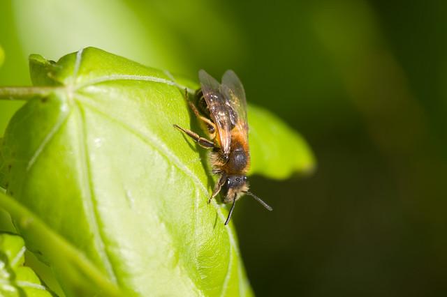 163: Andrena dorsata (f)