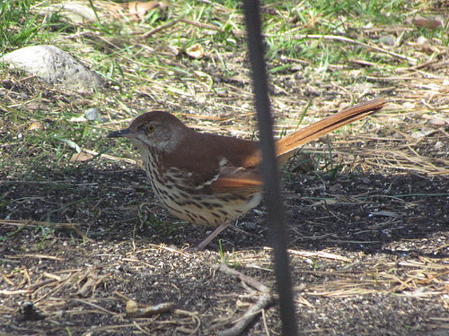 First Brown Thrasher2 4:20:14