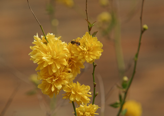 La jeune abeille - The young bee