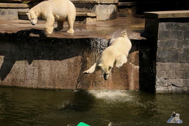 Eisbär Fiete im Zoo Rostock 07.05.2016  0207