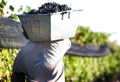 Ya se cosecharon 949.562.030 kilos de uvas en todo el país