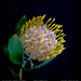 Fun with One - Protea Pincushion Flower
