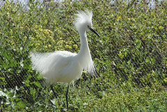 great egret(0.0), ibis(0.0), animal(1.0), fauna(1.0), heron(1.0), beak(1.0), crane-like bird(1.0), crane(1.0), bird(1.0), wildlife(1.0), egret(1.0),