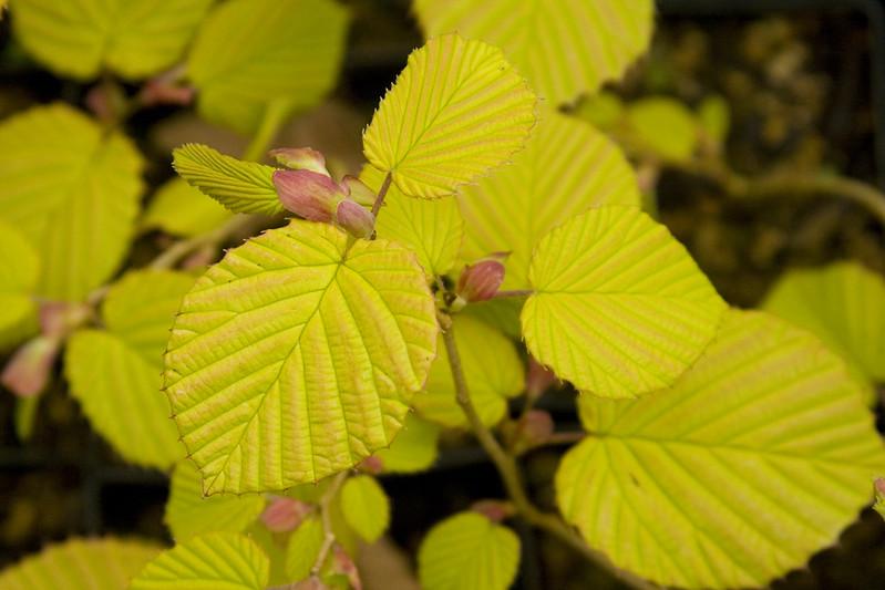 Corylopsis spicata aurea