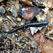 Small photo of Blue-Spotted Salamander (Ambystoma laterale)