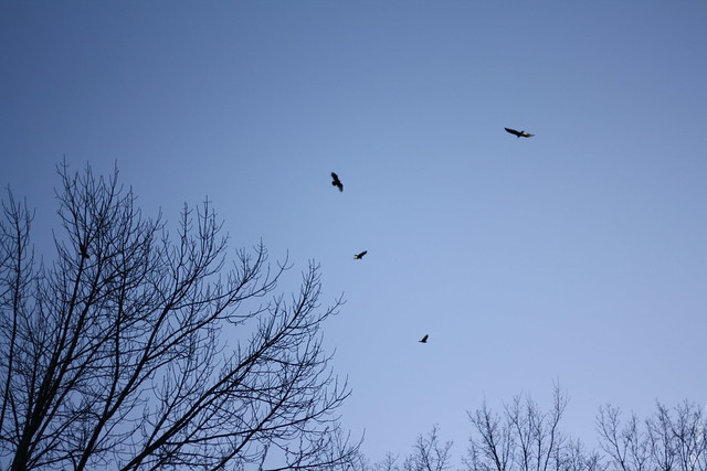 hawks circling over the backyard