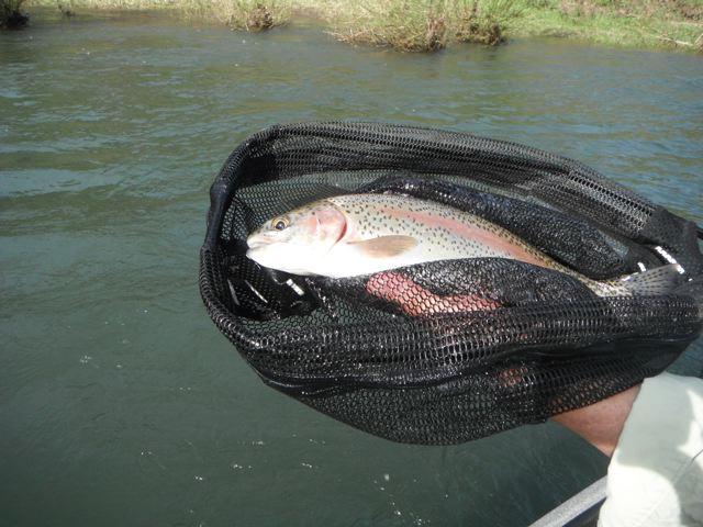 McKenzie wild trout