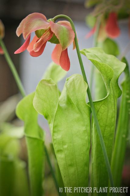Sarracenia rubra x oreophila