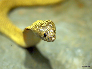 Golden spitting cobra