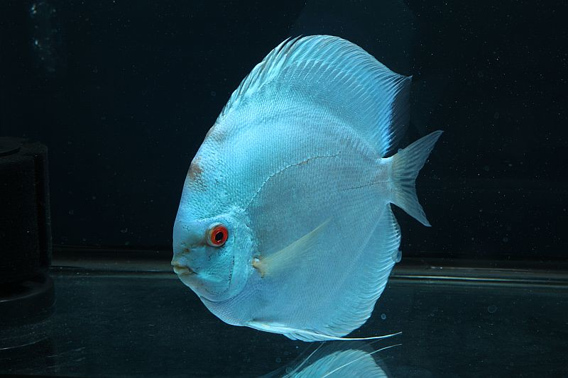 Discus fish for sale virginia list of freshwater for Freshwater aquarium fish list