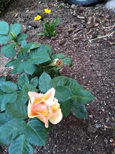My Rose in Bloom