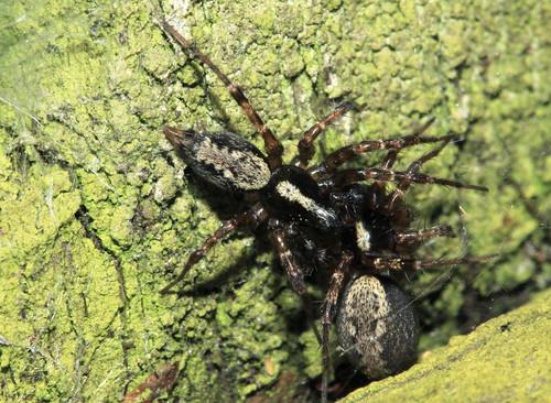 Spider 8986