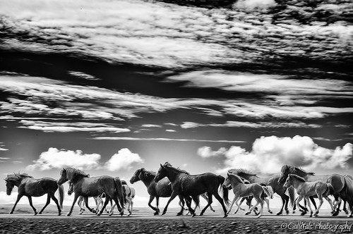 In the long run - Icelandic horses