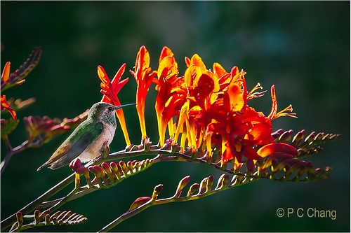 red summer flower bird garden hummingbird emerald annashummingbird crocosmialucifer thegalaxy pcchang flickrstruereflection1 rememberthatmomentlevel1 rememberthatmomentlevel2 jewelsinflight