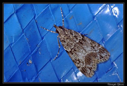 Eudonie commune (Eudonia mercurella)