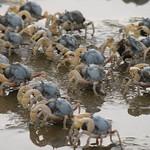和尚蟹。(圖片來源:新竹市政府)