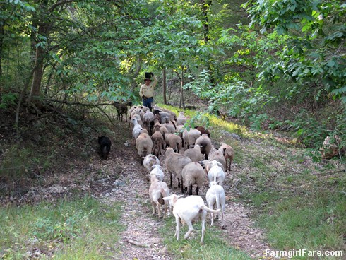 (18-9) Luring the sheep away from Donkeyland and back towards the barn - FarmgirlFare.com