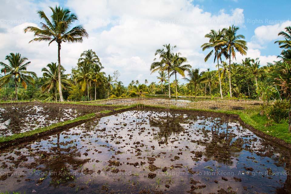 Padi Fields @ Gunung Kawi, Bali, Indonesia