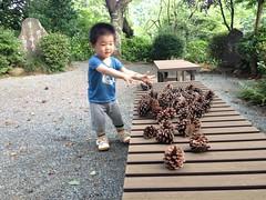 松ぼっくりを集めるとらちゃん (2012/7/16)