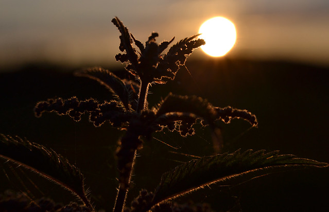Nettle in the setting sun