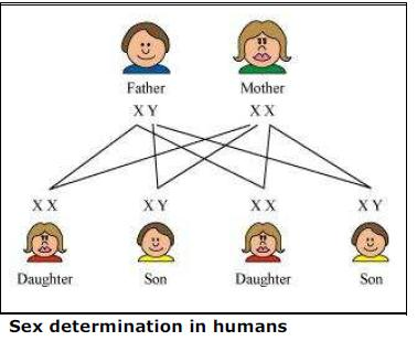 understanding the hereditary determination of sex Abstract genetic mechanisms of sex determination are sex determination, sex ratios, and genetic to understand the evolution of sex determination.