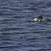 Great Northern Diver and fish (Derek Mills)