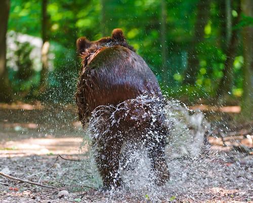 無料写真素材, 動物 , 熊・クマ, 動物  走る