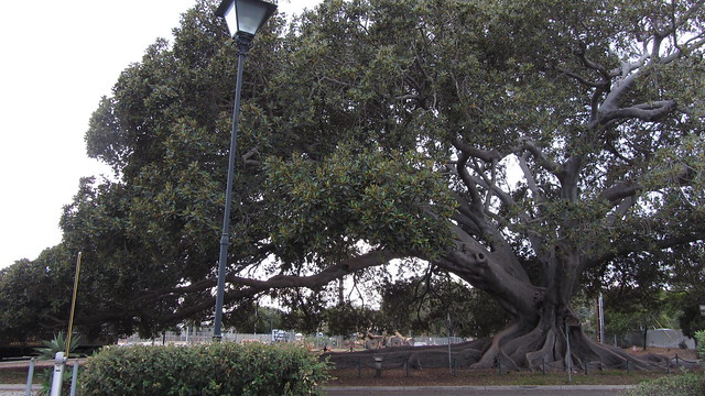 IMG_8755 santa barbara moreton bay fig tree