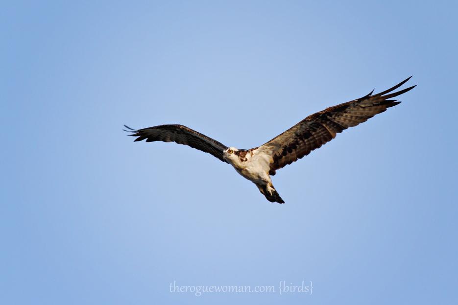 072412_08_bird_osprey