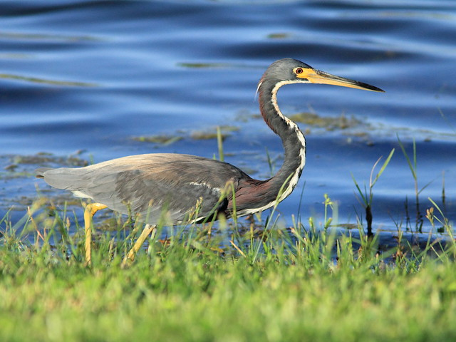 Tricolored Heron 20120808