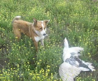Mirada intimidante de Border collie pastoreando
