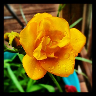 #freesia #flower #igrewit #containergarden #summer #deck #picoftheday #photooftheday #smile #yellow