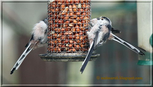 Long Tailed Tits 2.jpg