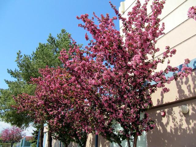 Beautiful Spring Flowers On Crabapple Trees Broadmoor