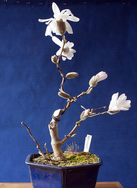 Wee Trees Bonsai Help Forum Advice For All View Topic Magnolia