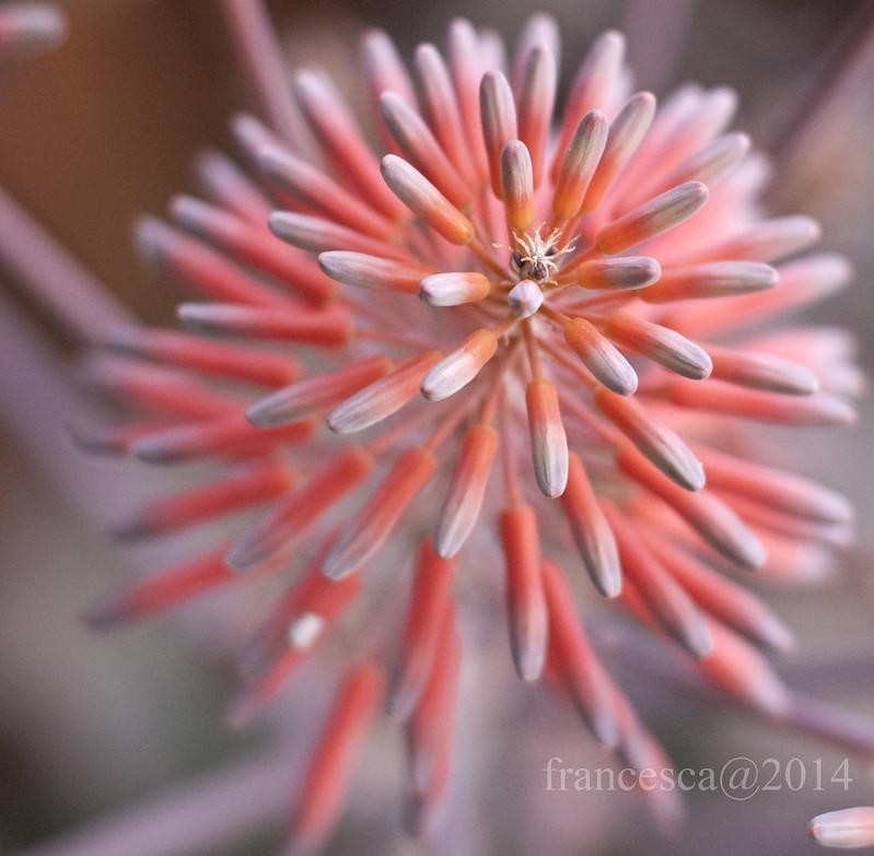 Flower of Aloe Vera