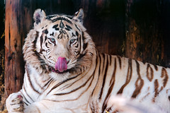 [Free Images] Animals 1, Tigers, White Tigers ID:201204011000