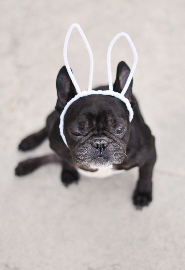 funny easter dog-french bulldog in bunny ears