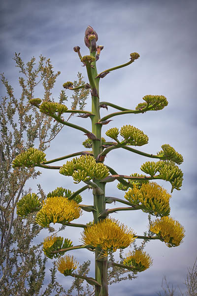 Agave with Yellow Blooms