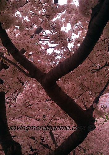 Cherry Blossoms: Our Gift From Japan