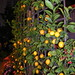 Espaliered Lemon Tree by xaviergardens