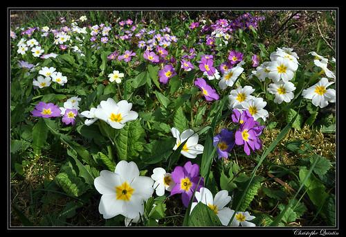 Primevères (Primula acaulis)