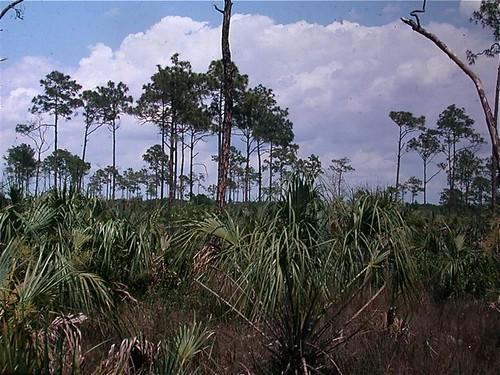 Pinecrest, FL - Palmetto Scrub
