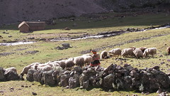 cattle-like mammal, animal, sheeps, sheep, mammal, herd, grazing, goatherd, pasture, rural area,