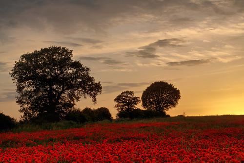 poppies hertfordshire sandridge roantrum heartwoodforest