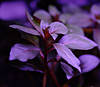 Ludwigia repens 'diamond red'